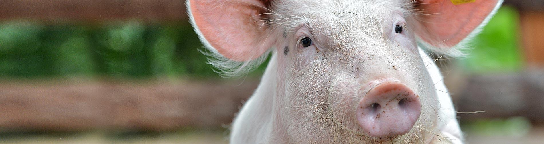 slider-schweinehaltung